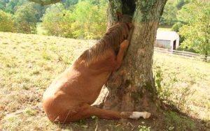 Horse stuck in tree