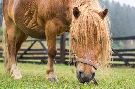 fat pony